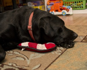 snoozing with his toy from Happy Dog Box